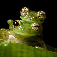 Mating Emerald Glass Frogs, Espadarana prosoblepon, in the Chocó.