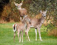 Three Deer. Image taken with a Nikon 1 V3 camera and 70-300 mm VR lens.
