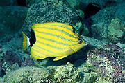 bluestripe butterflyfish,<br /> Chaetodon fremblii ( endemic ),<br /> Hawaii, USA ( Pacific )
