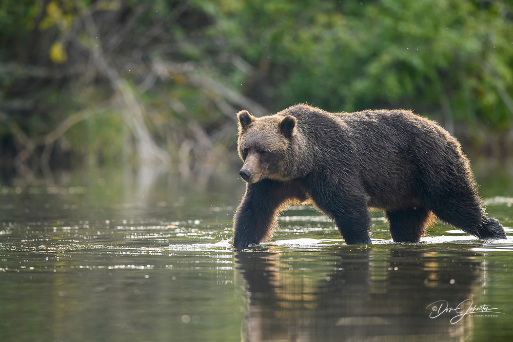 Grizzly bear (Ursus arctos)- Mother and yearling cubs hunting sockeye salmon spawning in the Chilko River, Chilcotin Wilderness, BC Interior, Canada, Chilcotin Wilderness, BC Interior, Canada