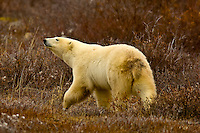 A polar bear on the tundra along Hudson Bay near Churchill, Manitoba, Canada
