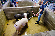 21 JULY 2020 - COLFAX, IOWA: A boy washes his pigs before the swine show at the Jasper County Fair in Colfax, about 30 miles east of Des Moines. Summer is county fair season in Iowa. Most of Iowa's 99 counties host their county fairs before the Iowa State Fair. In 2020, because of the COVID-19 (Coronavirus) pandemic, many county fairs were cancelled, or scaled back to concentrate on 4H livestock judging. The Iowa State Fair was cancelled completely. The Jasper County Fair cancelled most events and focused on just the 4H contests. Tuesday were the swine contests.                 PHOTO BY JACK KURTZ
