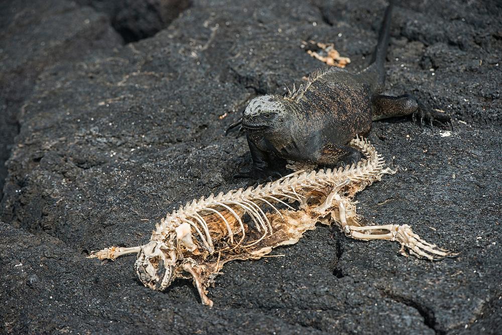 Marine Iguana (Amblyrhynchus cristatus) Corpse<br /> Espinosa Point<br /> Fernandina<br /> Galapagos<br /> Ecuador, South America<br /> ENDEMIC TO THE ISLANDS