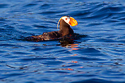 A tufted puffin (Fratercula cirrhata) swims on Discovery Bay near Protection Island National Wildlife Refuge in Jefferson County, Washington. Tufted puffins, also known as crested puffins, are the largest of the three types of puffins, with a wingspan of up to 25 inches (63.5 cm). They are found in the North Pacific, including southeastern Alaska and the Aleutian Islands, Kamchatka, the Kuril Islands and the Sea of Okhotsk.