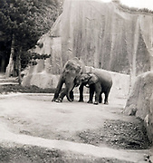 elephants in the Paris Zoo ca 1960s