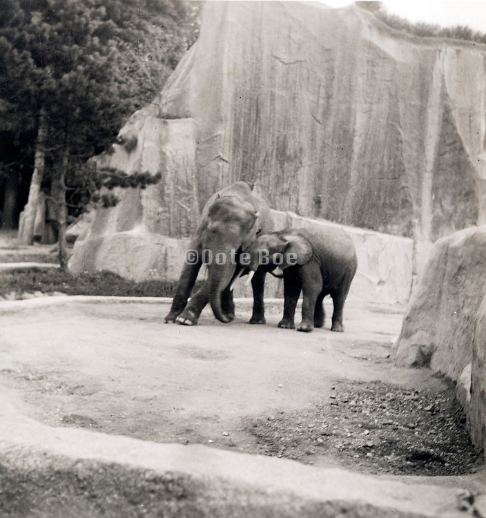 elephants in the Paris Zoo ca 1960s