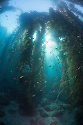 Kelp Forest, Southern California