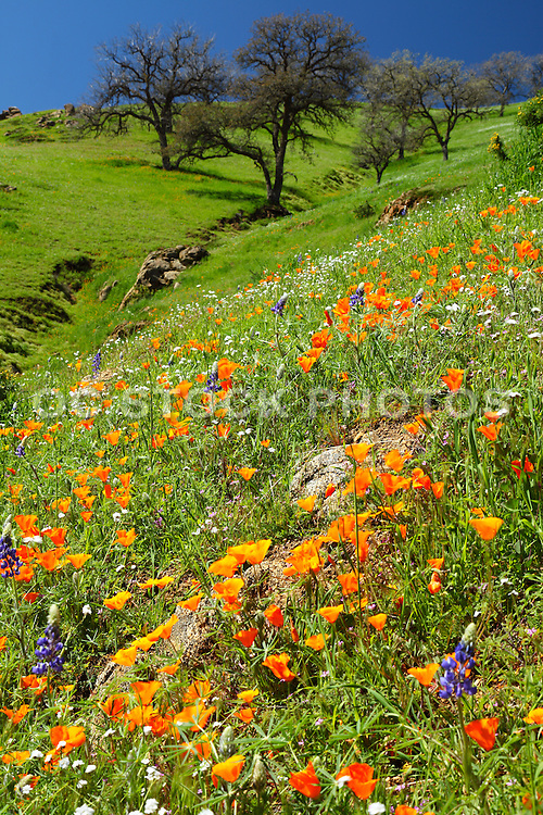 Spring Bloom in Central Valley California
