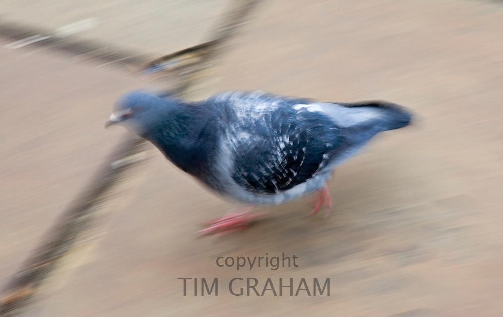 Pigeon, on street pavement Southbank, London, UK. Feral birds may be at risk from Avian Flu bird flu virus