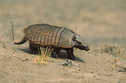 Larger Hairy Armadillo<br />Chaetophractus  villosus<br />Peninsula Valdes, ARGENTINA<br />RANGE: Bolivia, Paraguay, Argentina and Chile