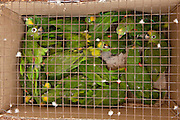 Yellow-crowned Parrots (Amazona ochrocephala) for PET TRADE<br /> on Trans Guyana Flight from Lethem into Georgetown<br /> GUYANA<br /> South America