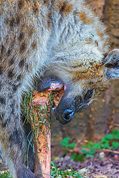 The spotted hyena is a skillful hunter but also a scavenger. Truly an opportunistic feeder, it selects the easiest and most attractive food it may ignore fresh carrion and bones if there is, for example, an abundance of vulnerable wildebeest calves. It consumes animals of various types and sizes (including domestic stock and even other hyenas), carrion, bones, vegetable matter and other animals' droppings. The powerful jaws and digestive tract of the hyena allow it to process and obtain nutrients from skin and bones. The only parts of prey not fully digested are hair, horns and hooves; these are regurgitated in the form of pellets. As hyenas hunt mostly at night and devour all parts, little evidence remains of their actual meals. Although they eat a lot of dry bones, they need little water.