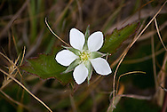 Close-up of a Rubus ursinus flower, a wild California Blackberry, blooming in the chaparral vegetation of Big Sur, California