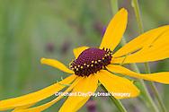63899-05413 Sweet Black-eyed Susan (Rudbeckia subtomentosa) Marion Co., IL