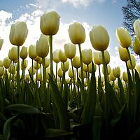 Tulip fields near Woodburn, Oregon.