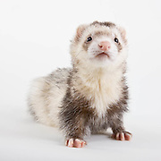 Ferret standing on white seamless background.