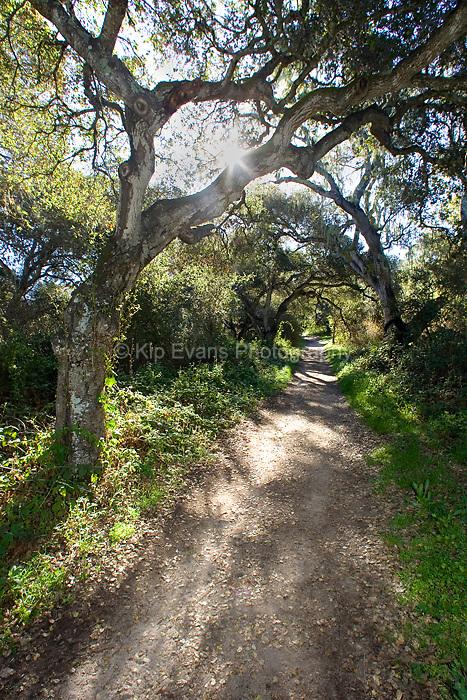 Coast oak tree along Garland Ranch - Carmel Valley, California.
