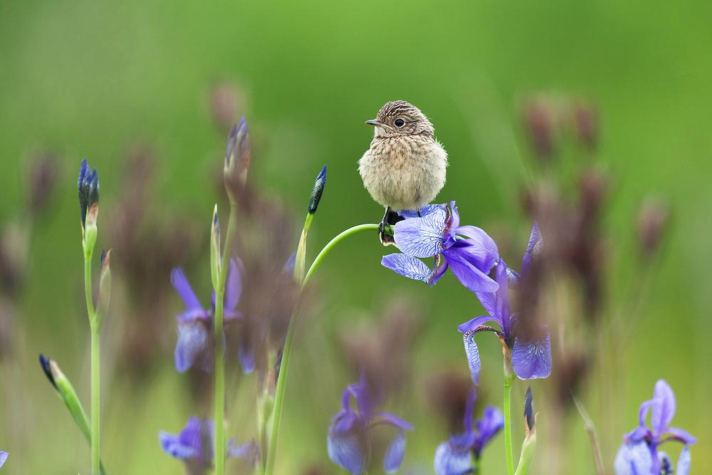 young Stonechat Saxicola torquata, sitting on Siberian Iris, Iris sibirica, Eastern Slovakia, Europe, Junges Schwarzkehlchen, Saxicola torquata auf Sibirischer Schwertlilie, Iris sibirica, Slowakei, Europa