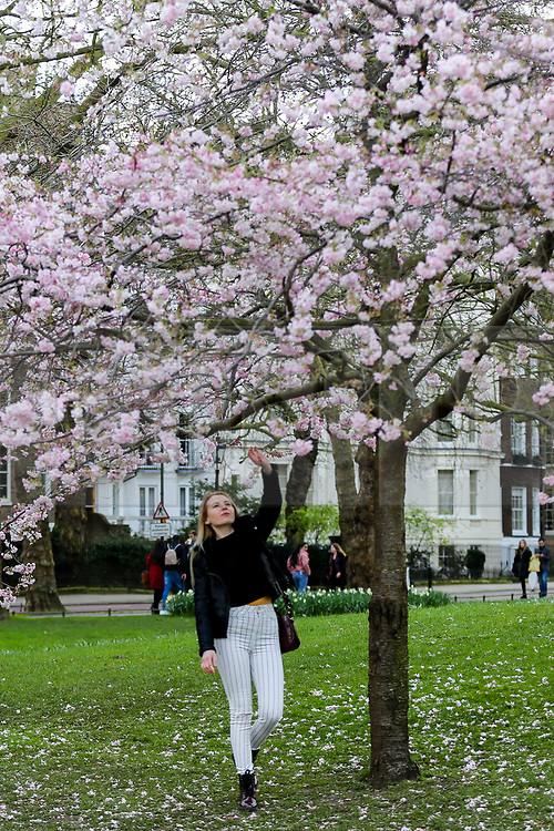© Licensed to London News Pictures. 11/03/2020. London, UK. A woman views the Cherry tree in St James's Park as it starts to bloom. Photo credit: Dinendra Haria/LNP
