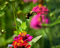 Snowberry Clearwing moth feeding on Zinnia flower. Image taken with a Nikon D850 camera and 100-500 mm f/5.6 VR lens