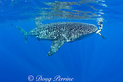Mami LeMaster and whale shark, Rhincodon typus, Kona Coast, Hawaii Island ( the Big Island ), Hawaiian Islands ( Central Pacific Ocean )