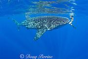 Mami LeMaster and whale shark, Rhincodon typus, Kona Coast, Hawaii Island ( the Big Island ), Hawaiian Islands ( Central Pacific Ocean )