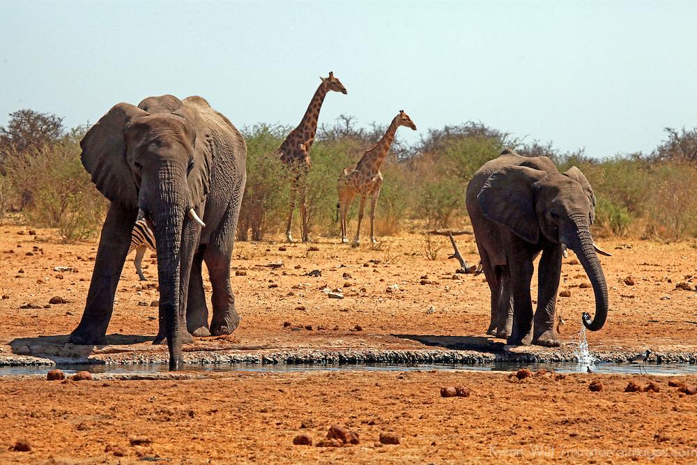 Africa, Namibia, Etosha. Elephants and giraffes of Etosha.