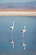 Flamingos on the Chaxa Lagoon salt lake, Salar De Atacama, Chile, South America