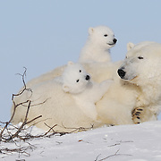 Polar Bear (Ursus maritimus) mother and her two cubs at Cape Churchill, near Churchill, Manitoba.