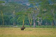 Black rhino, Lerai Forest, Ngorongoro Conservation Area, Tanzania.