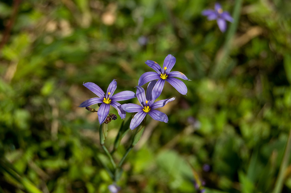 Blue-eyed grass wildflowers blooming in the CREW Marsh Hiking Trails in SW Florida.