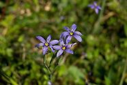 Iridaceae (Irises)