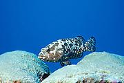 marbled grouper, camouflage grouper, or camouflage rockcod, Epinephelus microdon, German Channel, Palau ( Belau ), Micronesia ( Western Pacific Ocean )