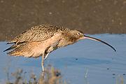 Long-billed Curlew.(Numenius americanus).Back Bay Reserve, California