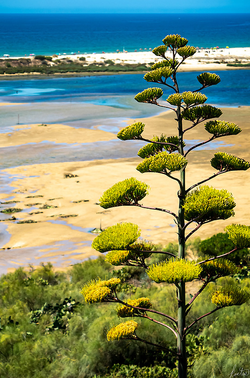 A century plant in full bloom overlooking the beach at Cacela Velha