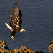 A bald eagle flies from its rock perch along Conception Bay in Harbour Main, Newfoundland and Labrador, Canada, on Wednesday, June 5, 2019. THE BLADE/KURT STEISS <br /> MAG NewfoundlandXX