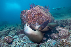 A pair of young California Sea Lions, Zalophus californianus, cavort in shallow water.  Pedro Martir, Midriff Islands, Sea of Cortez, Mexico