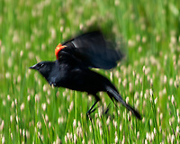 Red-winged Blackbird (Agelaius phoeniceus). Lily Lake. Rocky Mountain National Park, Colorado. Image taken with a Nikon D2xs camera and 80-400 mm VR lens.