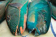 Parrotfish<br /> Reef Species for sale<br /> Suva Sea Food Market<br /> Suva<br /> Viti Levu<br /> Fiji. <br /> South Pacific