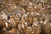 A sea of camels at the Birqash Camel Market outside Cairo, Egypt, where camel broker Saleh Abdul Fadlallah works. (Abdul Fadlallah is featured in the book What I Eat: Around the World in 80 Diets.)   Domesticated since 2000 BC, camels are used less as beasts of burden now, and more for their meat. Because they can run up to 40 miles per hour for short bursts, dealers hobble one leg when they are unloaded at the Birqash market. They are marked with painted symbols to make them easier for buyers and sellers to identify.