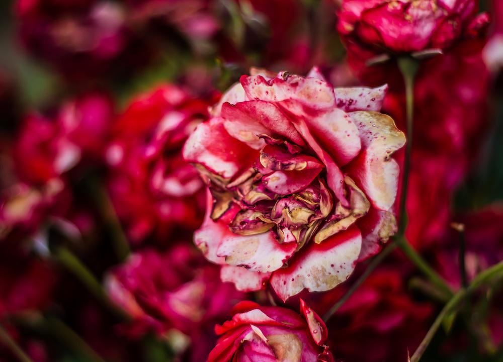 Fading Crimson Rose in the International Rose Test Garden in Portland, OR