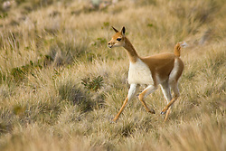 Vicuna (Vicugna vicugna) in grass, Suasi Island (also known as Isla Suasi), Lake Titicaca, Peru, South America