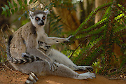 Ring-tailed Lemur (Lemur catta) mother and baby sitting at the base of an Octopus tree, vulnerable, Berenty Reserve, southern Madagascar