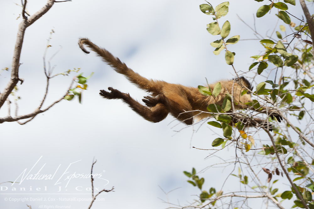 Brown Capuchin leaping through the trees.