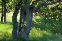 Common alder (Alnus glutinosa).<br /> Långviksskär, Stockholm Archipelago, Sweden