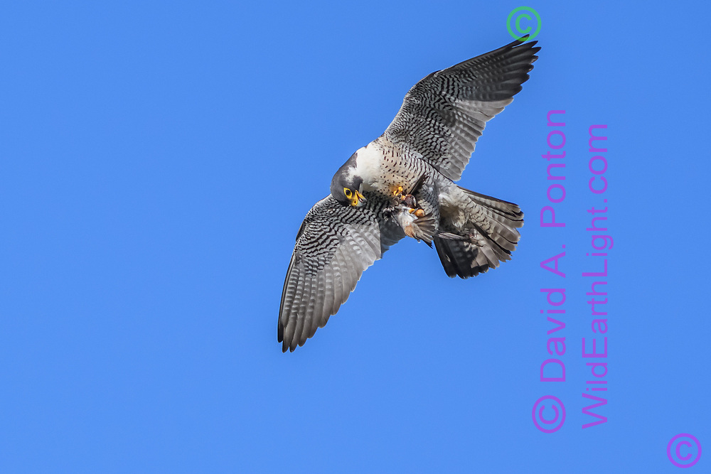 Peregrine falcon in fight looks at prey it has just captured, a cliff swallow, © David A. Ponton