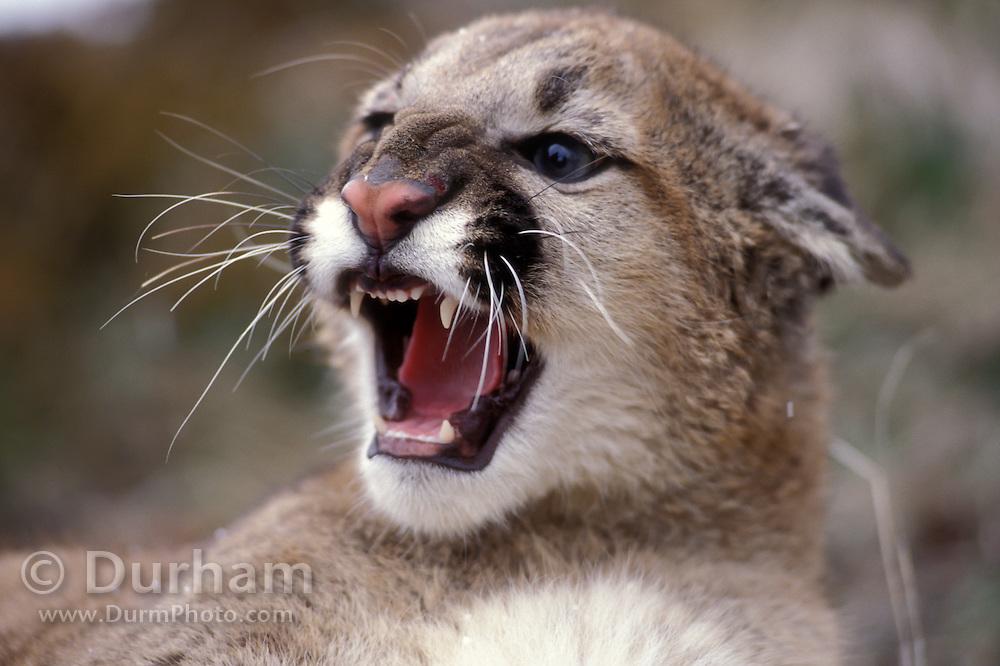 Juvenile female cougar (Felis Concolor) snarling. Range: North America - Canada south to South America. Captive, Montana.