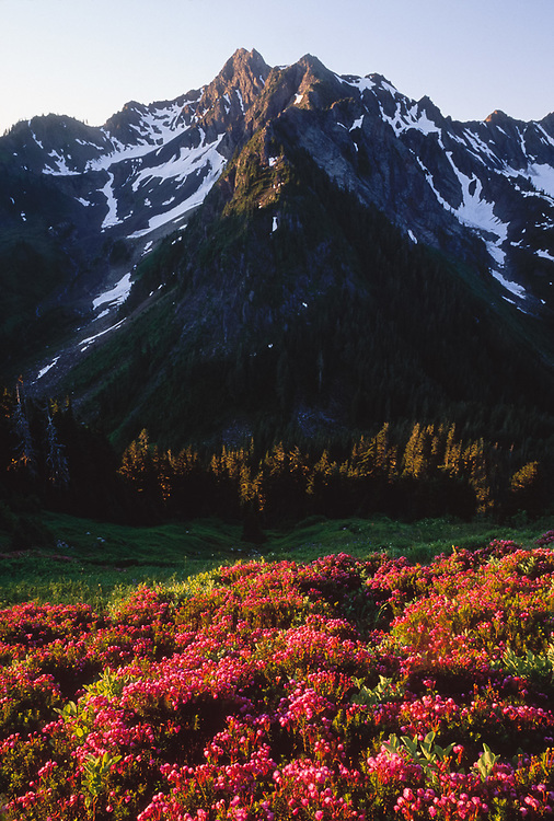 Mount LaCrosse, pink heather, viewed from Anderson Pass area, Olympic National Park, Washington, USA