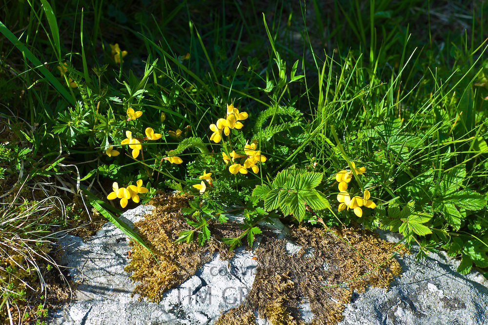 Native wildflowers and lichen of The Burren, County Clare, West of Ireland