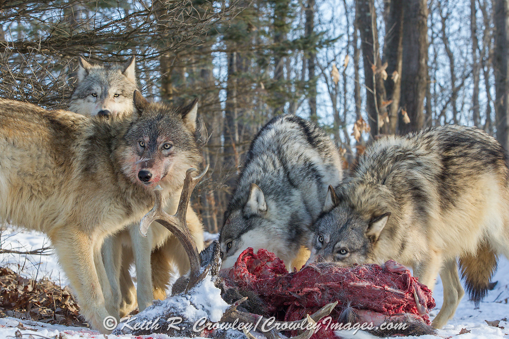 A pack of four gray wolves (canis lupus) feed on a mature buck. Captive pack.